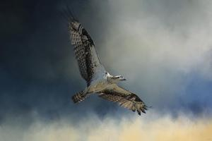 Winter Osprey by Jai Johnson