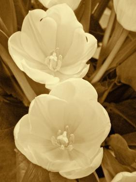 Sepia Blooms I by Jairo Rodriguez
