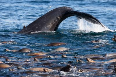 A Humpback Whale Dives for Anchovies Near a Group of California Sea Lions, Zalophus Californianus by Jak Wonderly