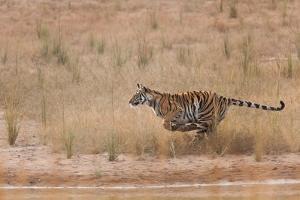 A Year-Old Bengal Tiger, Panthera Tigris Tigris, Running Along the Water's Edge by Jak Wonderly