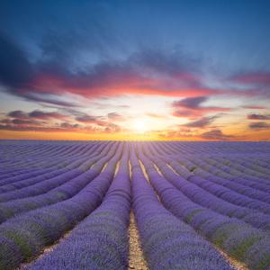 Beautiful Landscape of Blooming Lavender Field in Sunset. Provence, France, Europe by Jakub Gojda