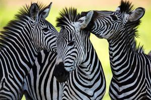 Wild Zebra Socialising in Africa by Jamen Percy