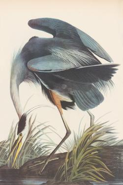 Great Blue Heron by James Audubon
