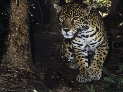Jaguar Stalking, Panthera Onca, Central America by James Beveridge