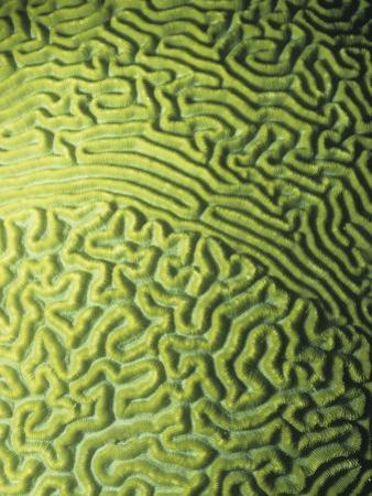 Symmetrical Brain Coral, Diploria Strigosa, with Zooanthellae or Symbiotic Algae, Belize, Caribbean by James Beveridge