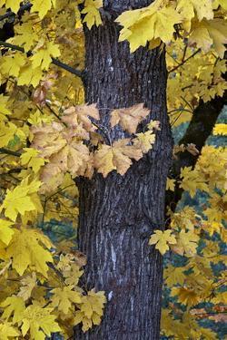 Bigleaf Maple (Oregon Maple) (Acer Macrophyllum) in the Fall by James