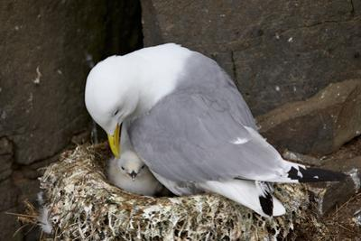 Black-Legged Kittiwake (Rissa Tridactyla) Adult and Chick on the Nest, Iceland, Polar Regions by James