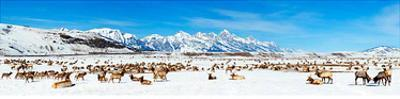 National Elk Refuge - Jackson Hole, Wyoming by James Blakeway