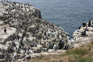 Guillemots, Kittiwakes, Shags and a Puffin on the Cliffs of Inner Farne by James Emmerson