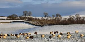 Sheep in snow, Eden Valley, Lower Pennines, Cumbria, England by James Emmerson
