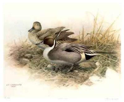 Pintailed Ducks