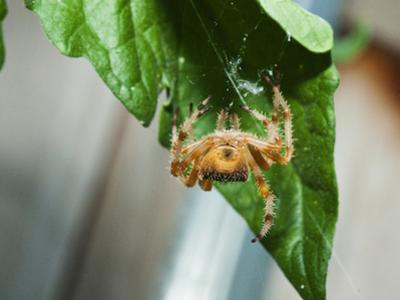 A Rear View of an Orb Weaving Spider