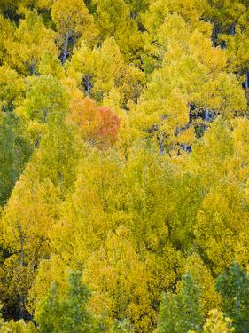 An Orange and Red Tree Grows Amidst Yellow Aspen Trees by James Forte
