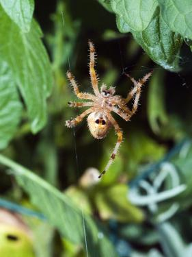 An Orb Weaving Spider Building it's Web by James Forte