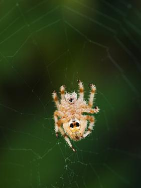 An Orb Weaving Spider in the Center of it's Web by James Forte