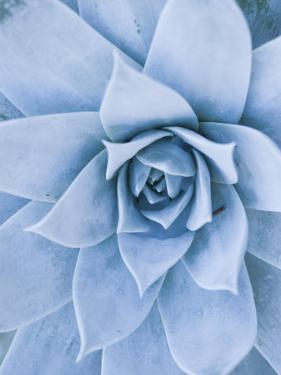 Close-Up of Blue Green Echeveria Succulent Plant, California by James Forte