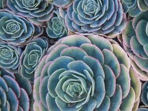 Cluster of Succulents by James Forte