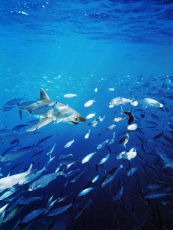 Great White Shark Hunting a Large School of Sardines by James Forte