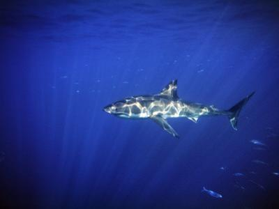 Great White Shark with Light Rays, Carcharodon Carcharias