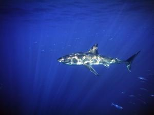 Great White Shark with Light Rays, Carcharodon Carcharias by James Forte
