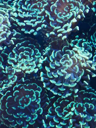 Hammer or Anchor Coral, Euphylla Anchora, in an Aquarium by James Forte