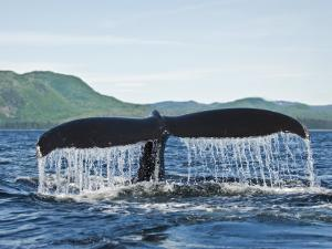 Humback Whale Diving with Tail Flukes Raised into the Air by James Forte