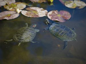 Pair of Turtles Swimming in Pond. Red-Eared Slider, Trachemys Scripta by James Forte