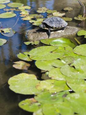 Single Red-Eared Slider Turtle on Rock in a Pond, Trachemys Scripta by James Forte