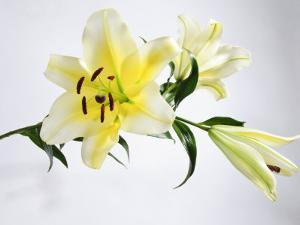White and Yellow Lily with Buds by James Forte
