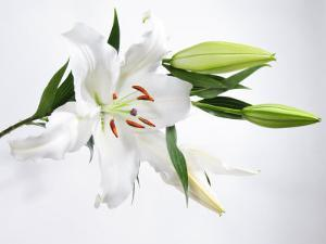 White Lily and Buds by James Forte
