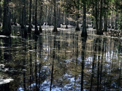 Cypress Swamp, Cypress Gardens, Near Charleston, South Carolina, USA
