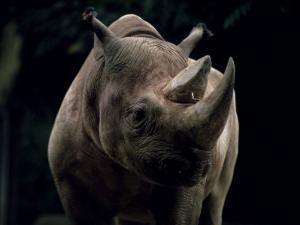 Black Rhinoceros (Rhino), an Endangered Species, Africa by James Gritz