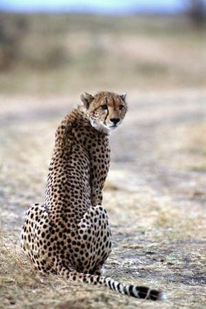 Cheetah, Kenya, Africa by James Gritz