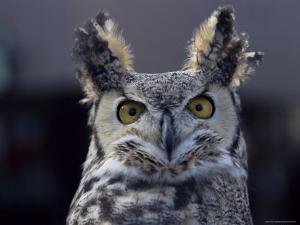 Close-Up of a Greeat Horned Owl, Bubo Virginiarius, Colorado by James Gritz