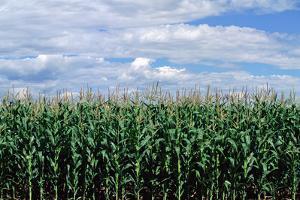 Corn Field, Colorado by James Gritz