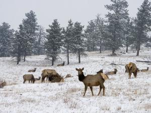 Elk Herd, Flagstaff Mountain, Colorado, United States of America, North America by James Gritz