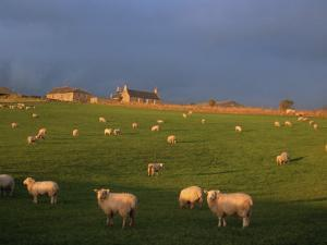 Flock of Sheep and Farmouse in Scottish Countryside, Scotland, United Kingdom, Europe by James Gritz