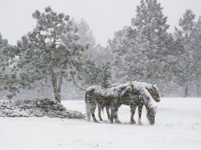 Horses in a Snowstorm, Colorado, United States of America, North America by James Gritz