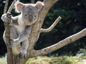 Koala Bear in a Tree in Captivity, Australia, Pacific by James Gritz