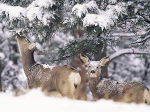 Mule Deer Mother and Fawn in Snow, Boulder, Colorado, United States of America, North America by James Gritz