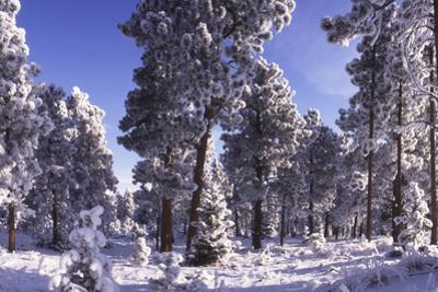 Ponderosa Pines in Winter, Colorado by James Gritz