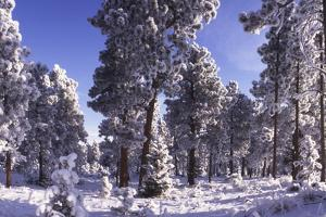 Ponderosa Pines in Winter, Colorado by James Gritz