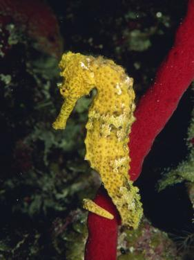 Sea Horse, Belize, Central America by James Gritz
