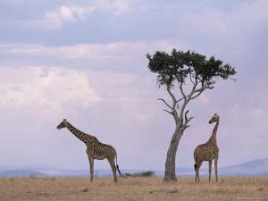 Two Giraffes with Acacia Tree, Masai Mara, Kenya, East Africa, Africa by James Gritz