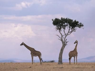 Two Giraffes with Acacia Tree, Masai Mara, Kenya, East Africa, Africa by James Gritz