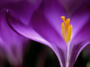 """Crocus Crysanthus """"Eye Catcher"""" (Extreme Close-up) March by James Guilliam"""