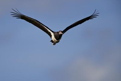Abdim's stork (Ciconia abdimii) in flight, Kgalagadi Transfrontier Park, South Africa, Africa by James Hager