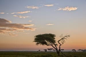 Acacia Tree and Clouds at Dawn by James Hager