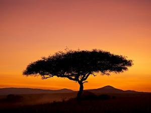 Acacia Tree Silhouetted at Dawn, Masai Mara Game Reserve, Kenya, East Africa, Africa by James Hager