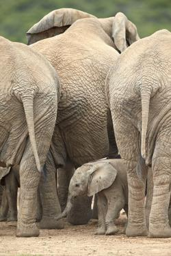 African Elephant (Loxodonta Africana) Baby, Addo Elephant National Park, South Africa, Africa by James Hager